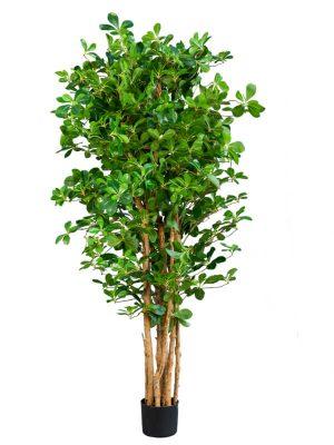 Ficus Oriental 150