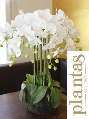 """Orchideen """"in Erde"""", Weiß, 70"""
