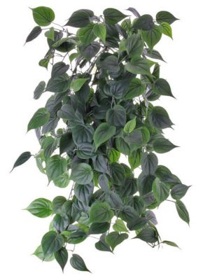 Philodendron Busch 91 FR
