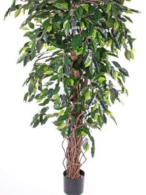 """Ficus """"Benjamini"""" Multistamm 150"""