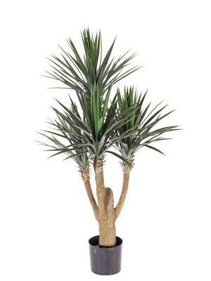 "Yucca ""Rostrata"" 115"